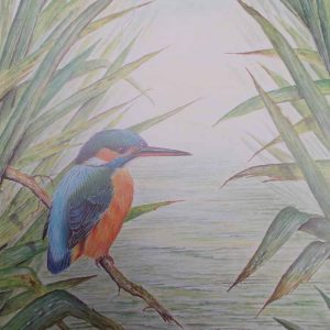 Roy Aplin: 'Kingfisher 'fly' limited edition print
