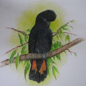 Roy Aplin: 'Red Tailed Black Cockatoo' limited edition print