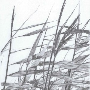 Reeds I is a graphite pencil on paper artwork by Dorset artist Ian Hedley