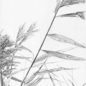 Reeds II is a graphite pencil on paper artwork by Dorset artist Ian Hedley
