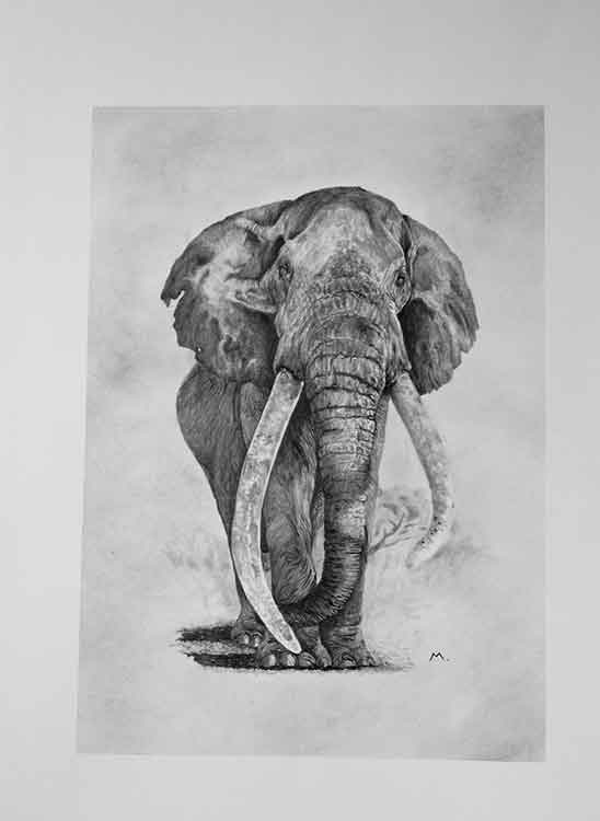 Big Tim is an art print of an elephant offered for sale by local Dorset artist Maryanne Pitman.