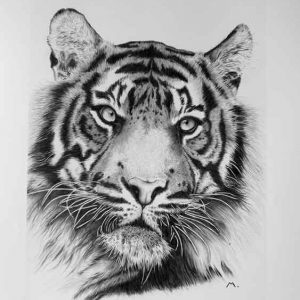 Panthera tigris tigris is an art print offered for sale by local Dorset artist Maryanne Pitman.