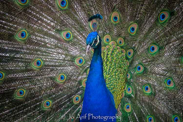 Showtime photographic print of a Peacock by Jo Arif